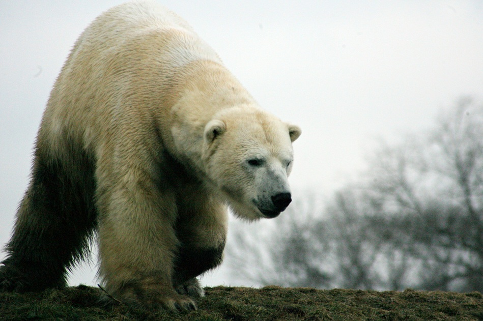Hibernation - How Bears can go without Food and Water for Months