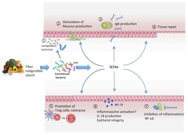 Dietary Fiber, SCFAs, and Mechanisms of Gut Homeostasis