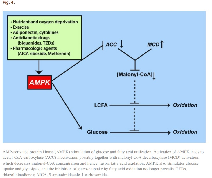 The Randle Cycle - How Fats and Carbs compete for Oxidation [Review] - 3 - Fig.4