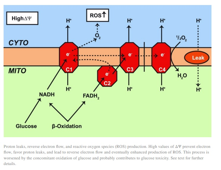 The Randle Cycle - How Fats and Carbs compete for Oxidation [Review] - 6 - Fig.7