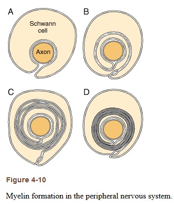Myelin Thickness - The Unromantic Approach to Reach Mastery [1,2,3] - myelin formation [5]