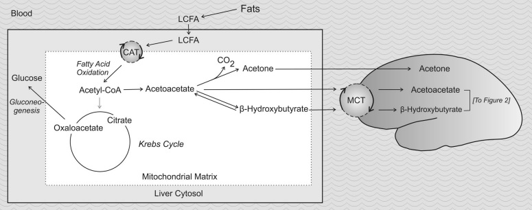 The Ketotic Brain - Differences Compared to the Glycolitic State - 2