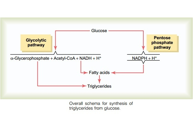 Lipogenesis and Ketosis – No Conversion of Carbohydrates to Fats in Ketogenic Diets | The ...