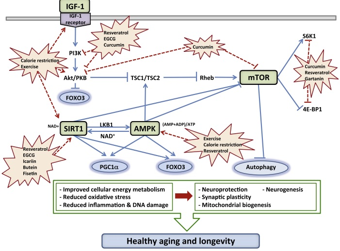 Neurohormetic Phytochemicals – Plant Compounds affecting AMPk, SIRT1, mTOR, IGF-1…   The ...
